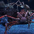 Giant Spider Crab by Laurie Perry