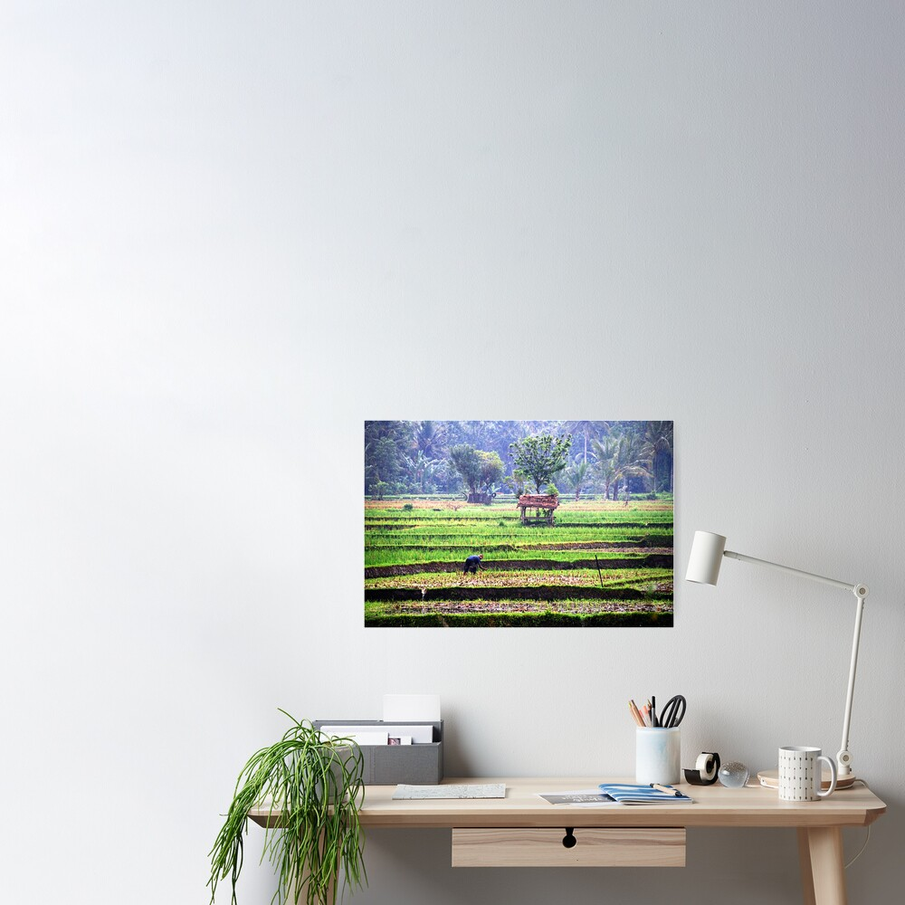 Morning at rice fields Poster