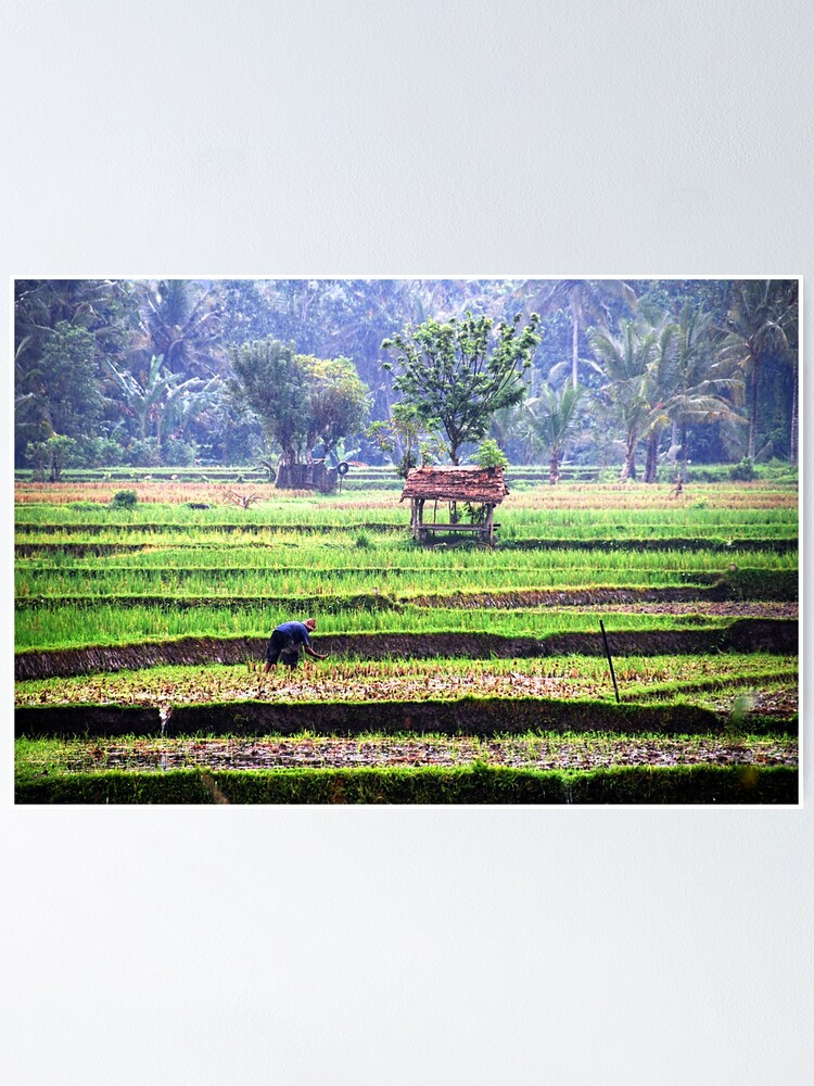 Alternate view of Morning at rice fields Poster