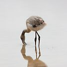 Galapagos Islands: Baby Flamingo by tpfmiller