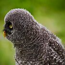 Baby Great Grey Owl 2 by Sue Ratcliffe