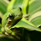 Green leaf frog by zzsuzsa