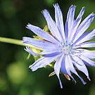 """""""Wild Flower"""" Cichorium intybus  by NewfieKeith"""
