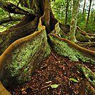 Banyang Tree Roots - Norfolk Island by Greg Earl