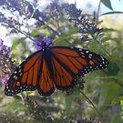 Monarch on Butterfly Bush by Johanna  Rutter