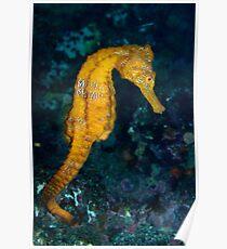 Sea horse (Hippocampus) underwater view Poster