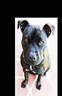 Staffordshire Bull Terrier von Evita