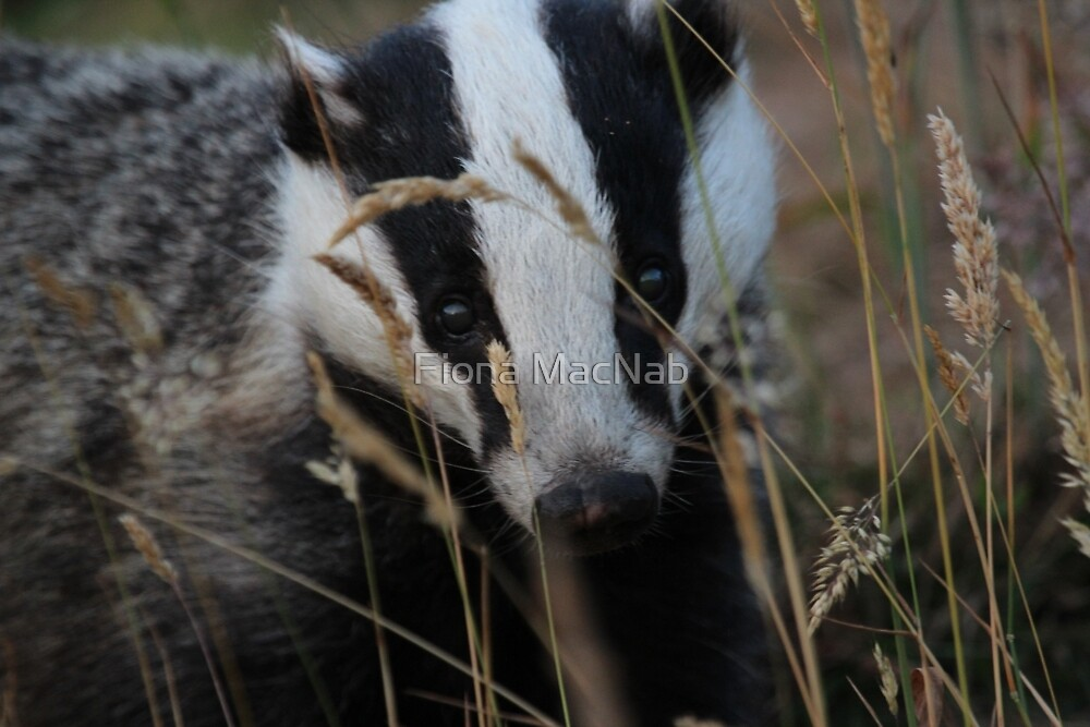 Badger hide and seek by Fiona MacNab