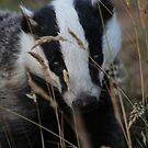 Badger hide and seek by Fiona MacNab