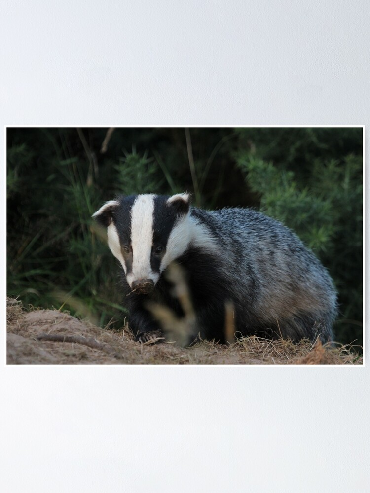 Alternate view of Badger Poster