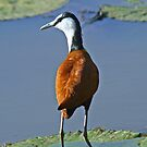 African Jacana by Anthony Goldman
