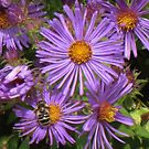 New England Asters by lorilee