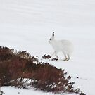 Mountain hare by Fiona MacNab