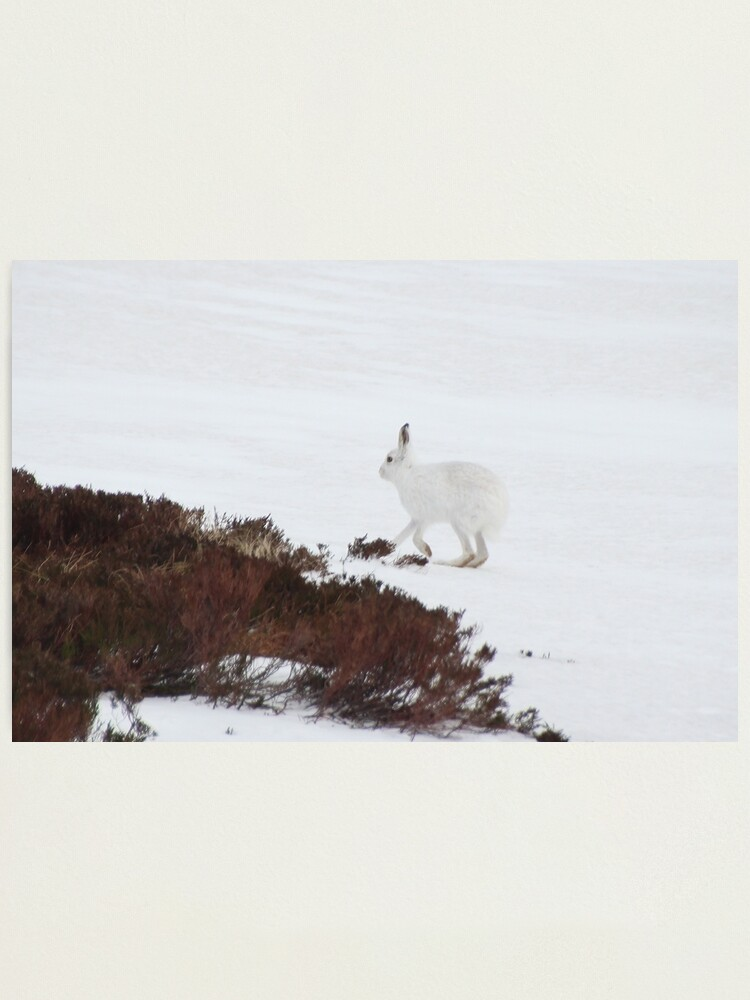 Alternate view of Mountain hare Photographic Print