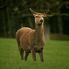Roe deer by Fiona MacNab