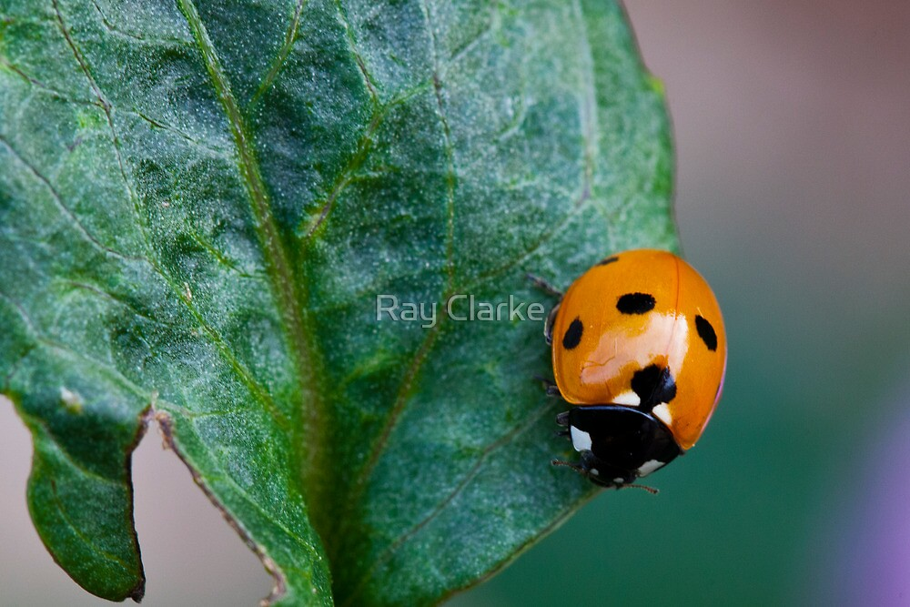 Spotty Dotty by Ray Clarke