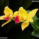 Burana Beauty Orchid - Symbol of Perfection by jono johnson