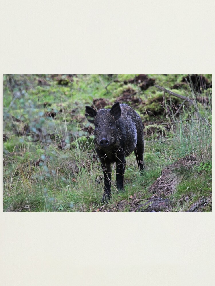 Alternate view of Wild boar Photographic Print