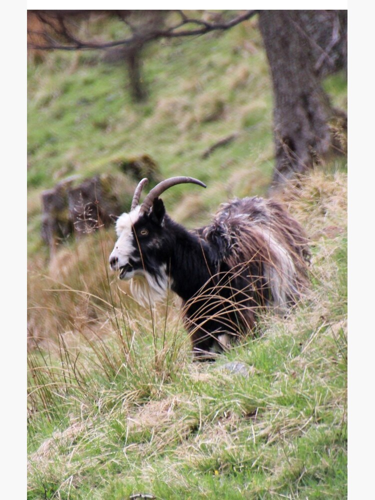 Wild goat by orcadia