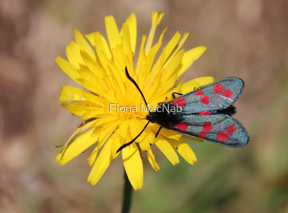 Burnet moth by Fiona MacNab