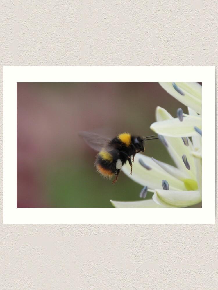 Alternate view of Bee in flight Art Print