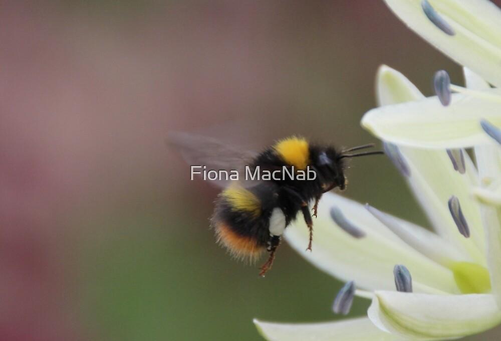 Bee in flight by Fiona MacNab