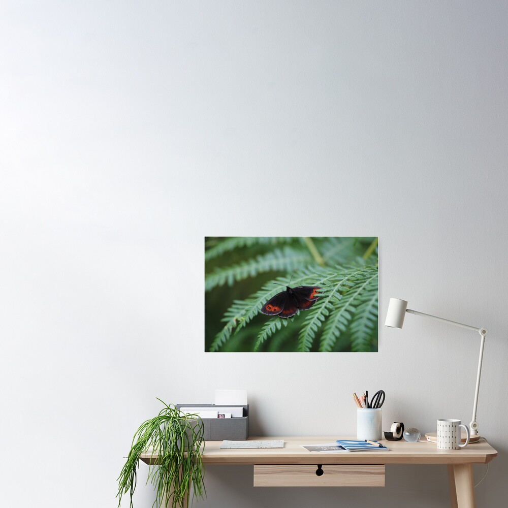 Scotch Argus butterfly Poster