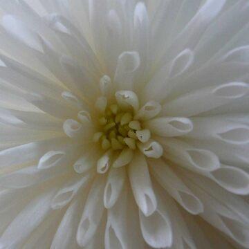 Chrysanthemum by quartzmonzonite