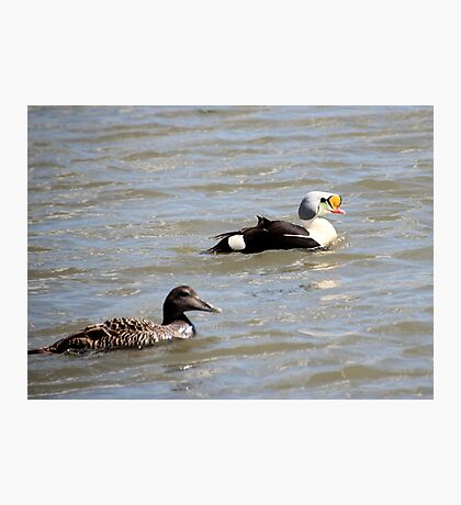 Eiders Photographic Print