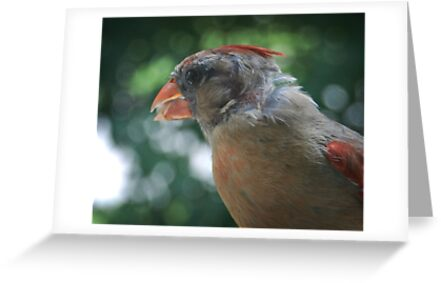 Young Northern Cardinal by G. David Chafin