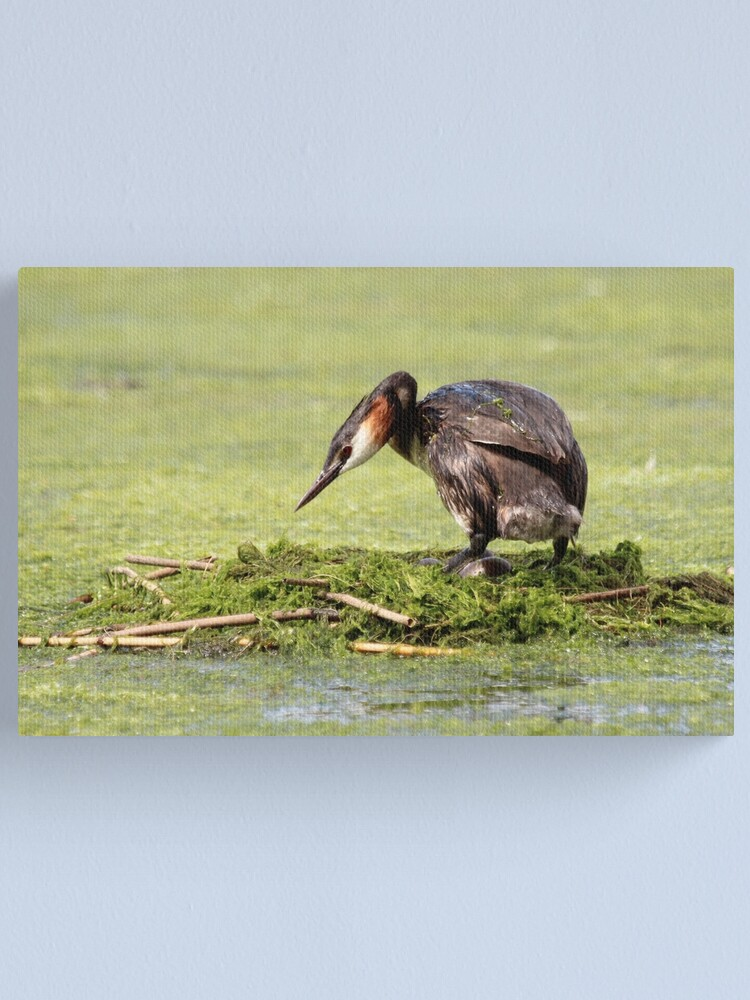 Alternate view of Great crested grebe Canvas Print