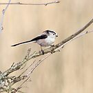 Long tailed tit by Fiona MacNab