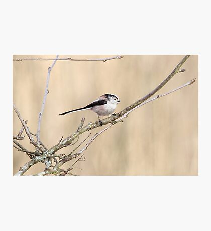 Long tailed tit Photographic Print