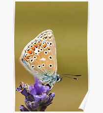 Common Blue Poster