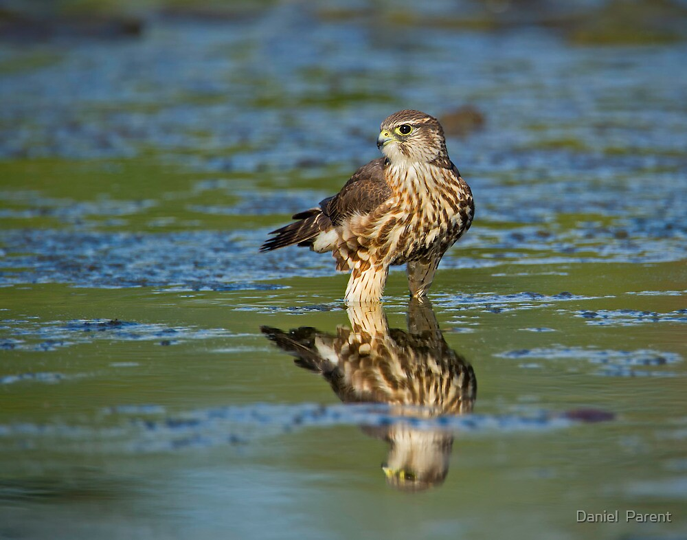 Merlin Reflection  by Daniel  Parent