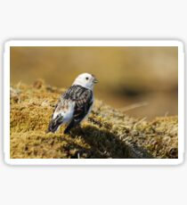 Snow bunting Sticker
