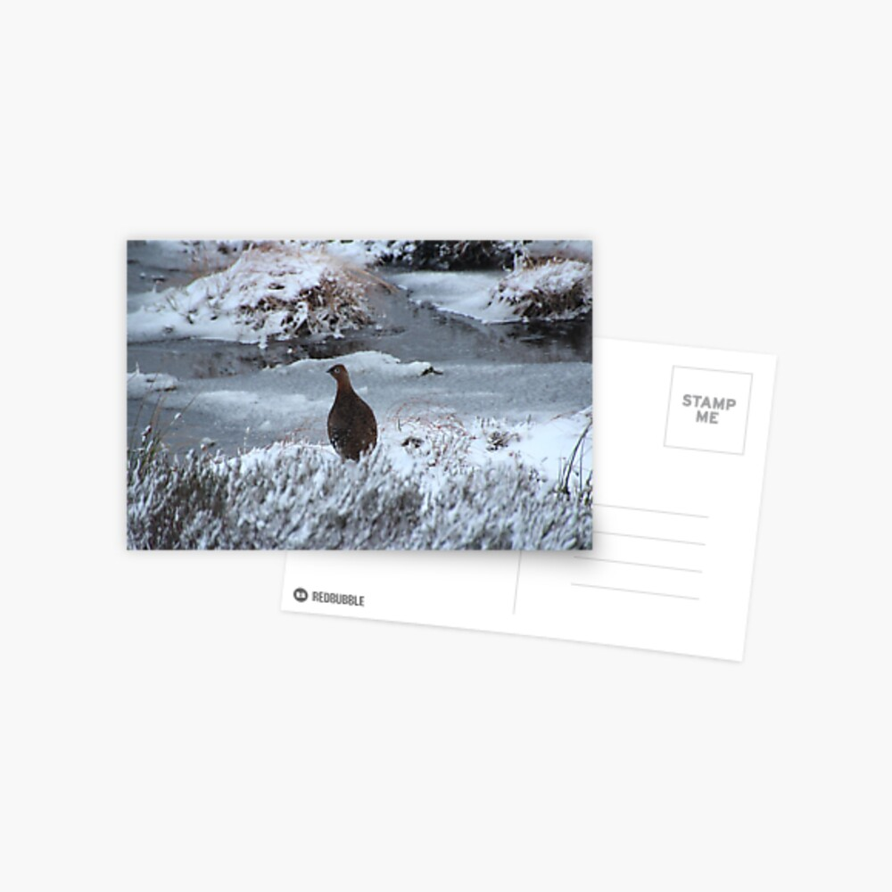Red grouse in winter Postcard