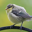 Young blue tit by Fiona MacNab