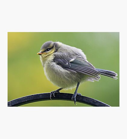 Young blue tit Photographic Print