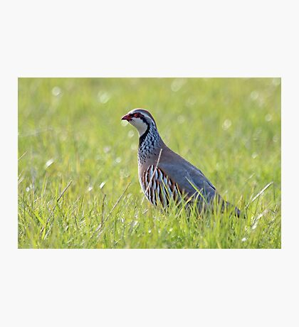 Red legged partridge Photographic Print