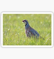 Red legged partridge Sticker