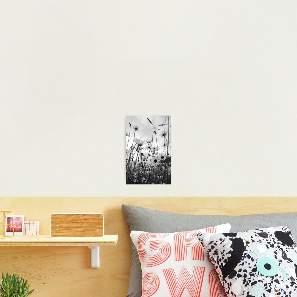 Oxeye daisies Photographic Print
