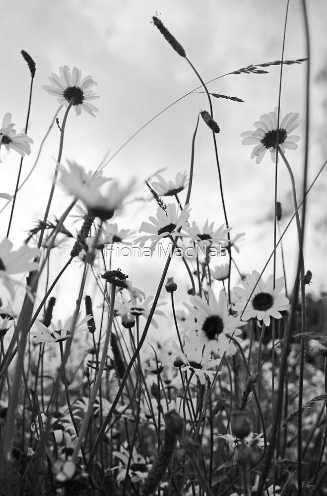 Oxeye daisies by Fiona MacNab