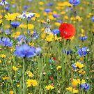 Wildflowers by Fiona MacNab