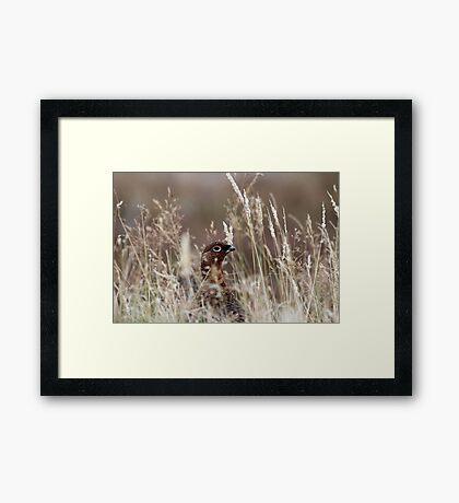 Grouse pose Framed Print