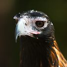 Eaglehawk by Jason Asher