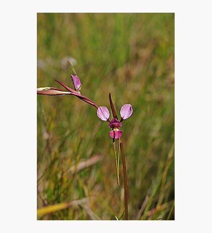 Diuris sp aff punctata south coast nsw Photographic Print