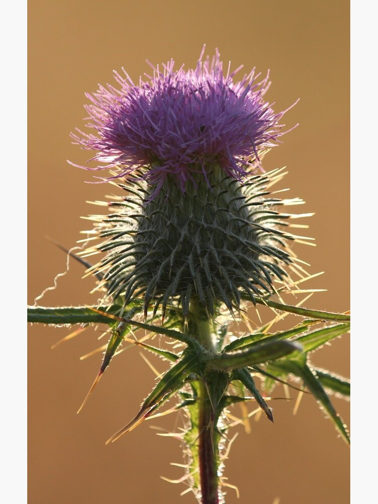 Thistle by orcadia