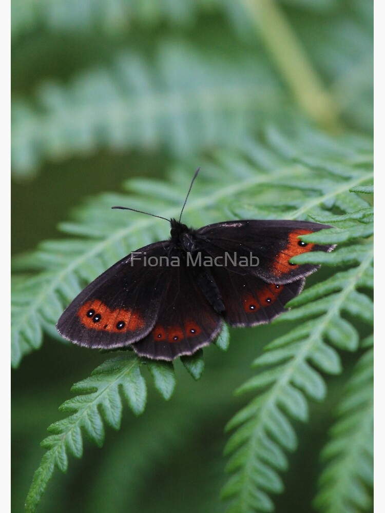 Scotch Argus butterfly by orcadia