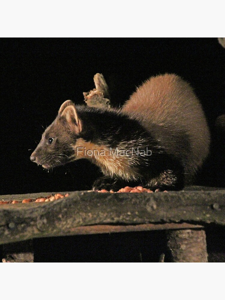 Pine marten by orcadia